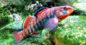 Rainbow darter (Etheostoma caeruleum)