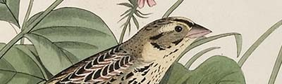audubon_wren_banner