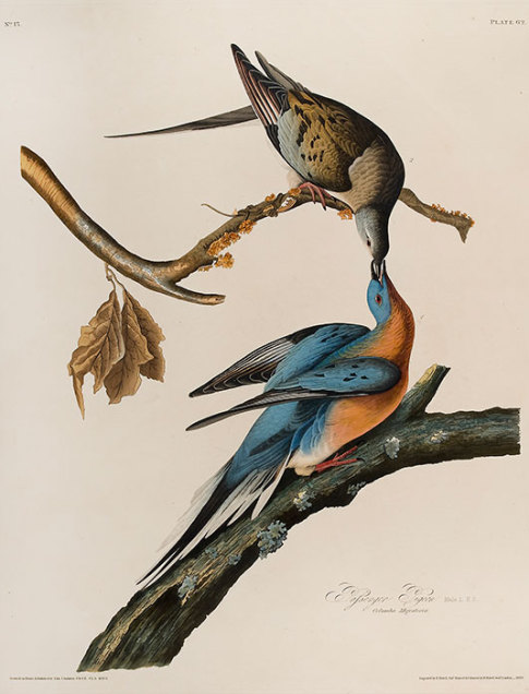 John James Audubon Passenger Pigeon, 1829 Hand-colored etching, aquatint, and line engraving The Louise Hauss and David Brent Miller Audubon Collection 1992.1.1.54
