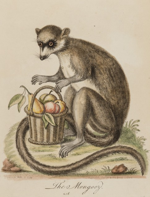 George Edwards (English, 1694–1773) The Black Maucauco from Madagascar, 1756 Etching with hand coloring on paper 2014.16.05