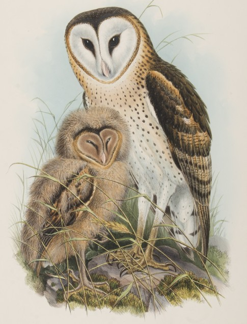 John Gould (English, 1804–1881) Strix Candida, Tickell (Grass Owl), n.d. Lithograph with hand coloring on paper 2014.16.07