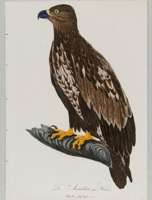 Johann Conrad Susemihl (German, 1767 – 1847) Der Seeadler Weibchen (white-tailed eagle, female) Color etching with hand coloring Gift of Sheila J. McCartney 2013.18.22