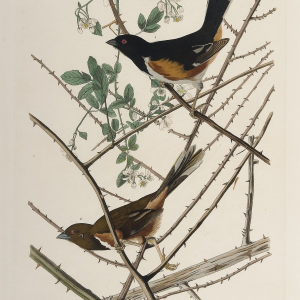 John James Audubon, (American, 1785–1851), Towhee Bunting, hand-colored etching, aquatint, and line engraving, The Louise Hauss and David Brent Miller Audubon Collection