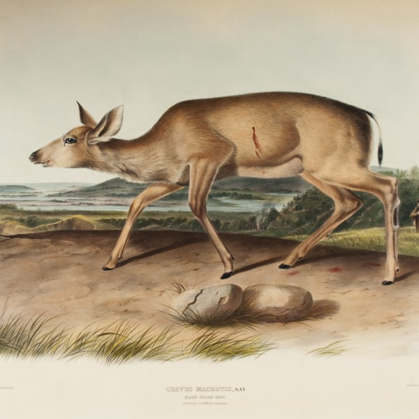 John James Audubon, (American, 1785–1851), Plate 78, The Viviparous Quadrupeds of North America, The Louise Hauss and David Brent Miller Audubon Collection