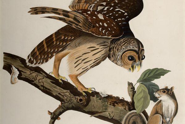 John James Audubon Barred Owl,  Jule Collins Smith Museum of Fine Art, Auburn University; the Sheila J. McCartney Collection