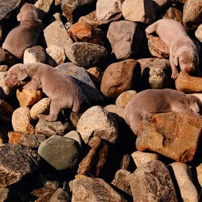 A close-up photograph of puppies hidden among rocks.