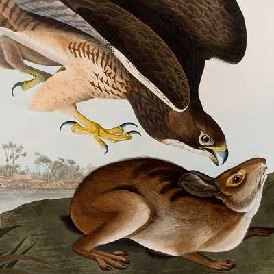 Detail of a print depicting a buzzard descending upon a hare.