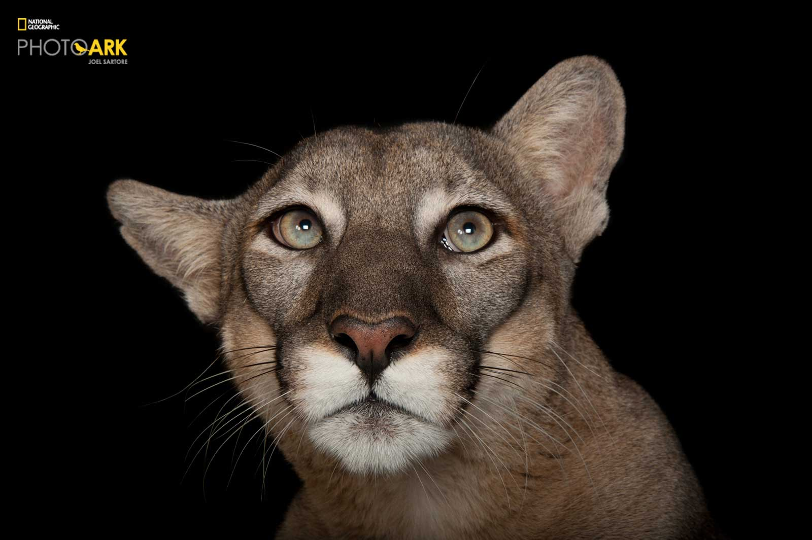 © Photo by Joel Sartore/National Geographic Photo Ark. A federally endangered Florida panther,