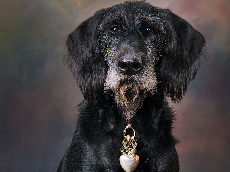 Dr. Nessie Trained to TDI Certification and AKC Canine Good Citizen Standards